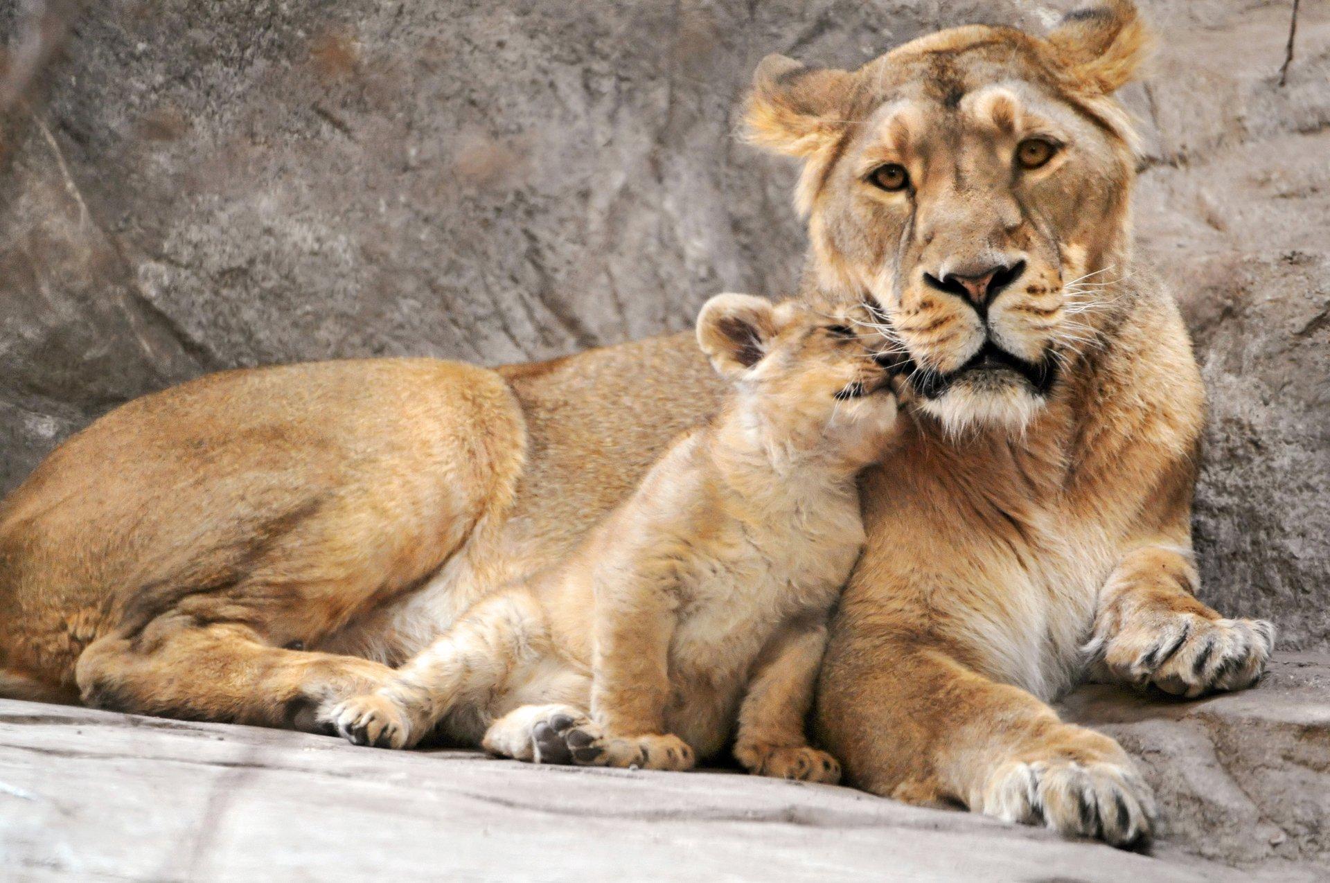 Lion Full Hd Fond D Ecran And Arriere Plan