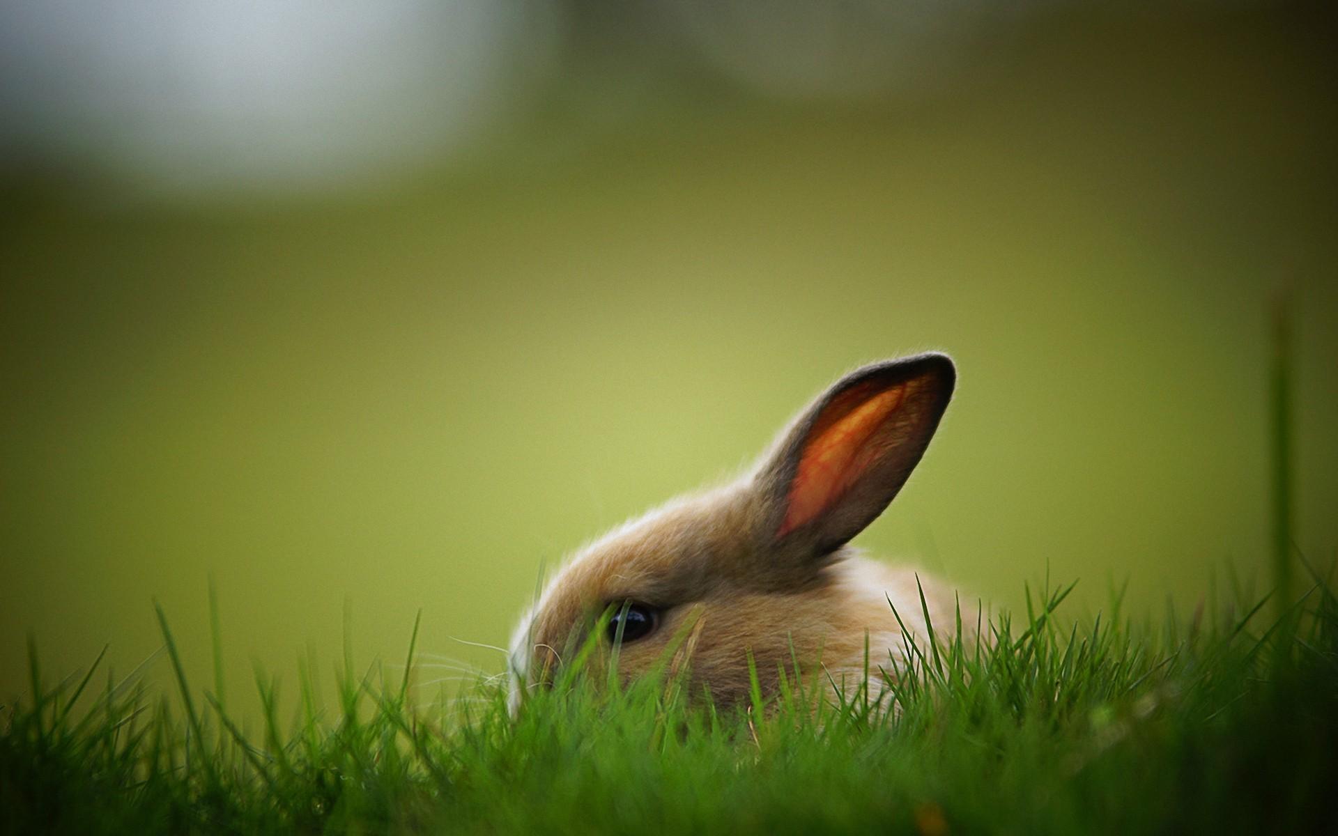 Rabbit Computer Wallpapers Desktop Backgrounds