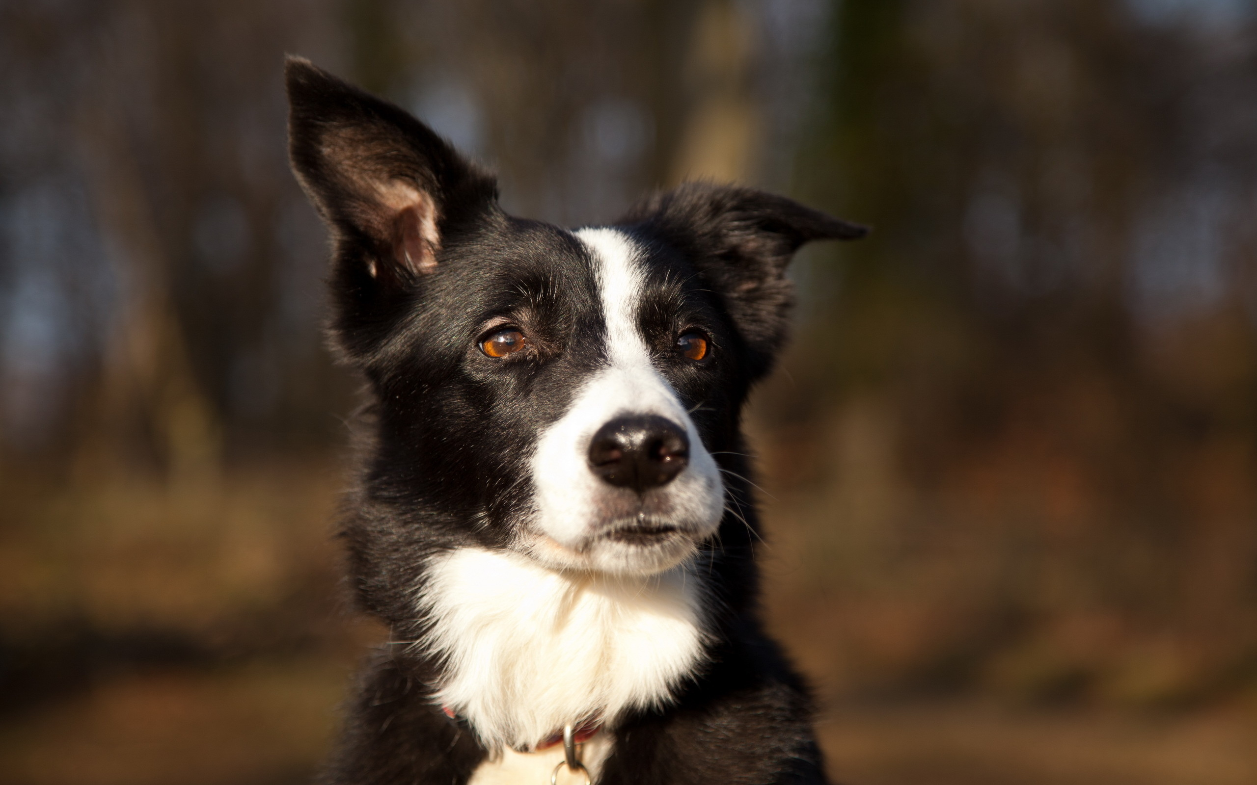 Iphone X Border Wallpaper Border Collie Full Hd Wallpaper And Background Image