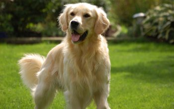 286 golden retriever hd