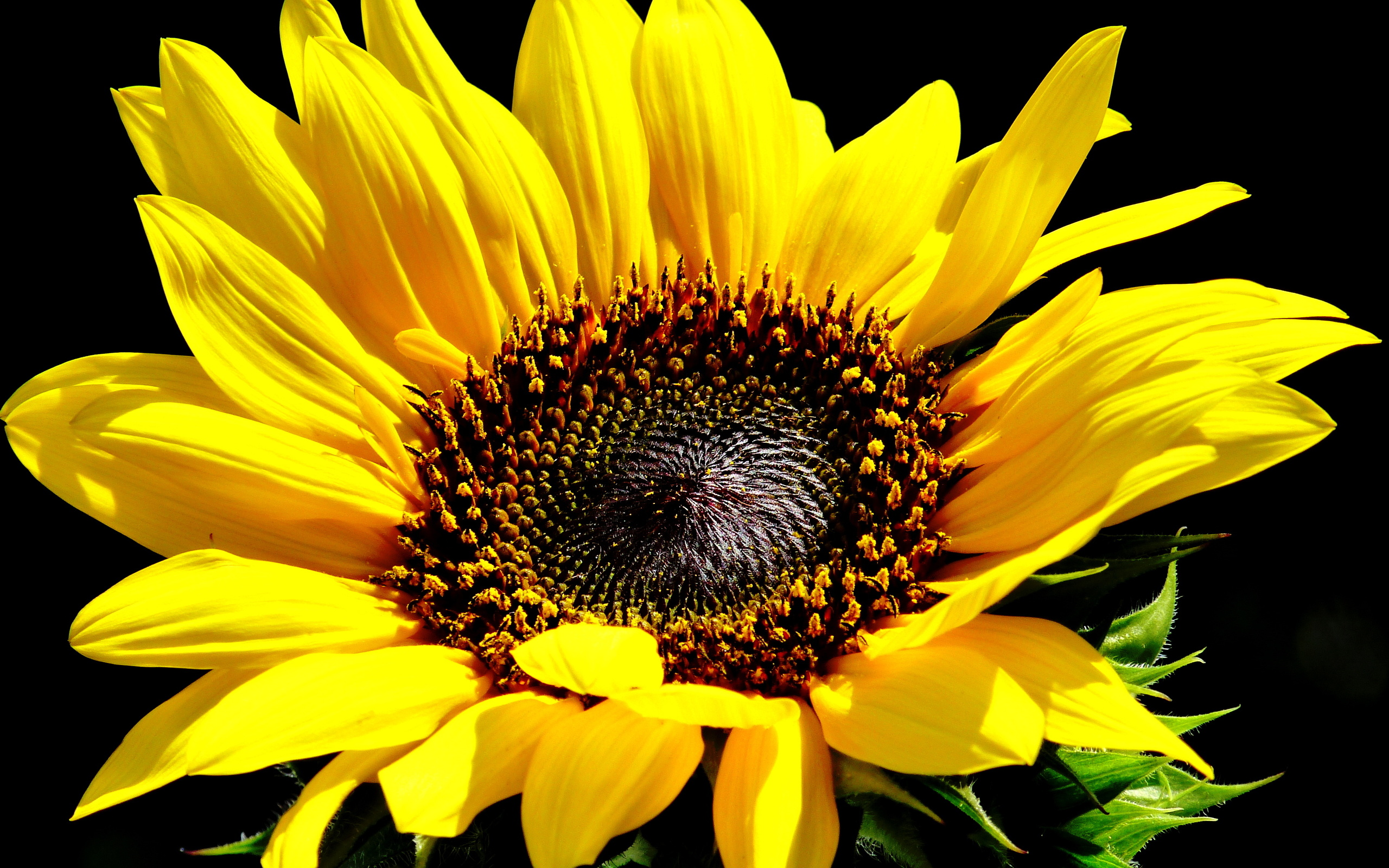 Sunflower Full HD Wallpaper and Background | 2560x1600 ...