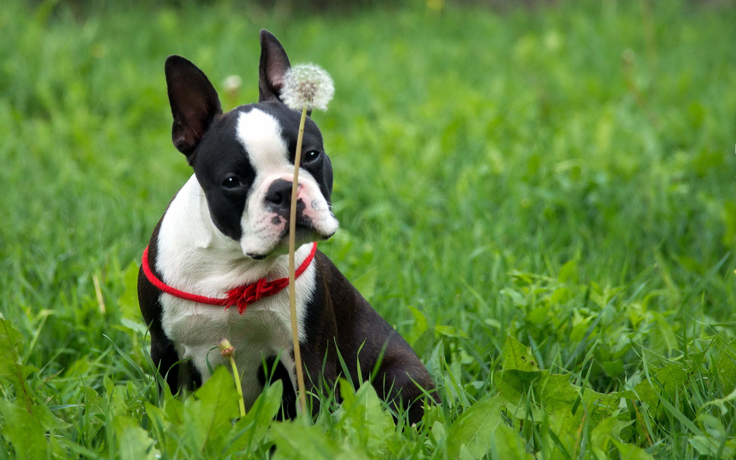 Cute Wallpapers Of Dogs And Puppies 7 Boston Terrier Hd Wallpapers Background Images