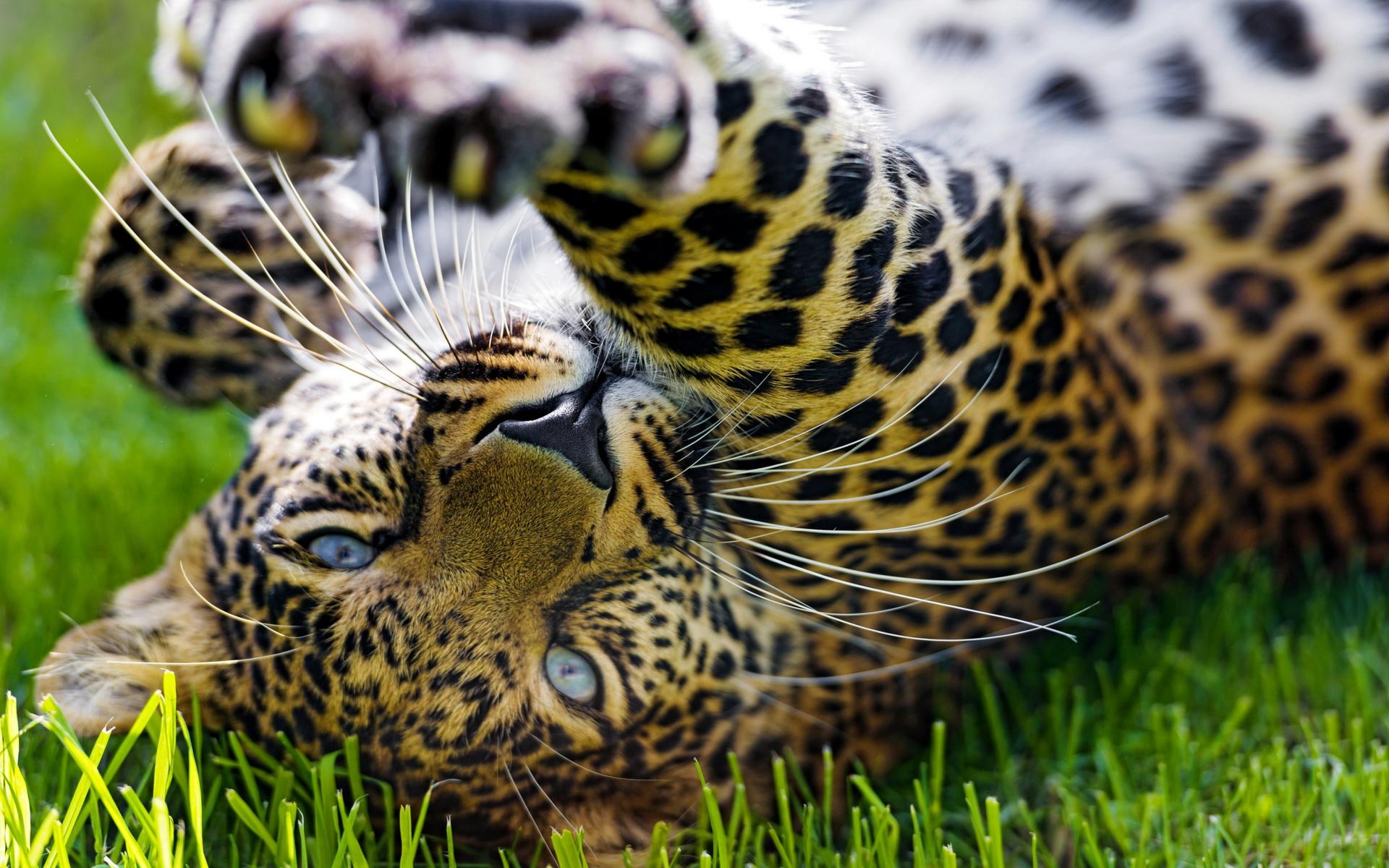 Jaguar Animal Wallpaper Jaguar Full Hd Wallpaper And Background Image 1920x1200