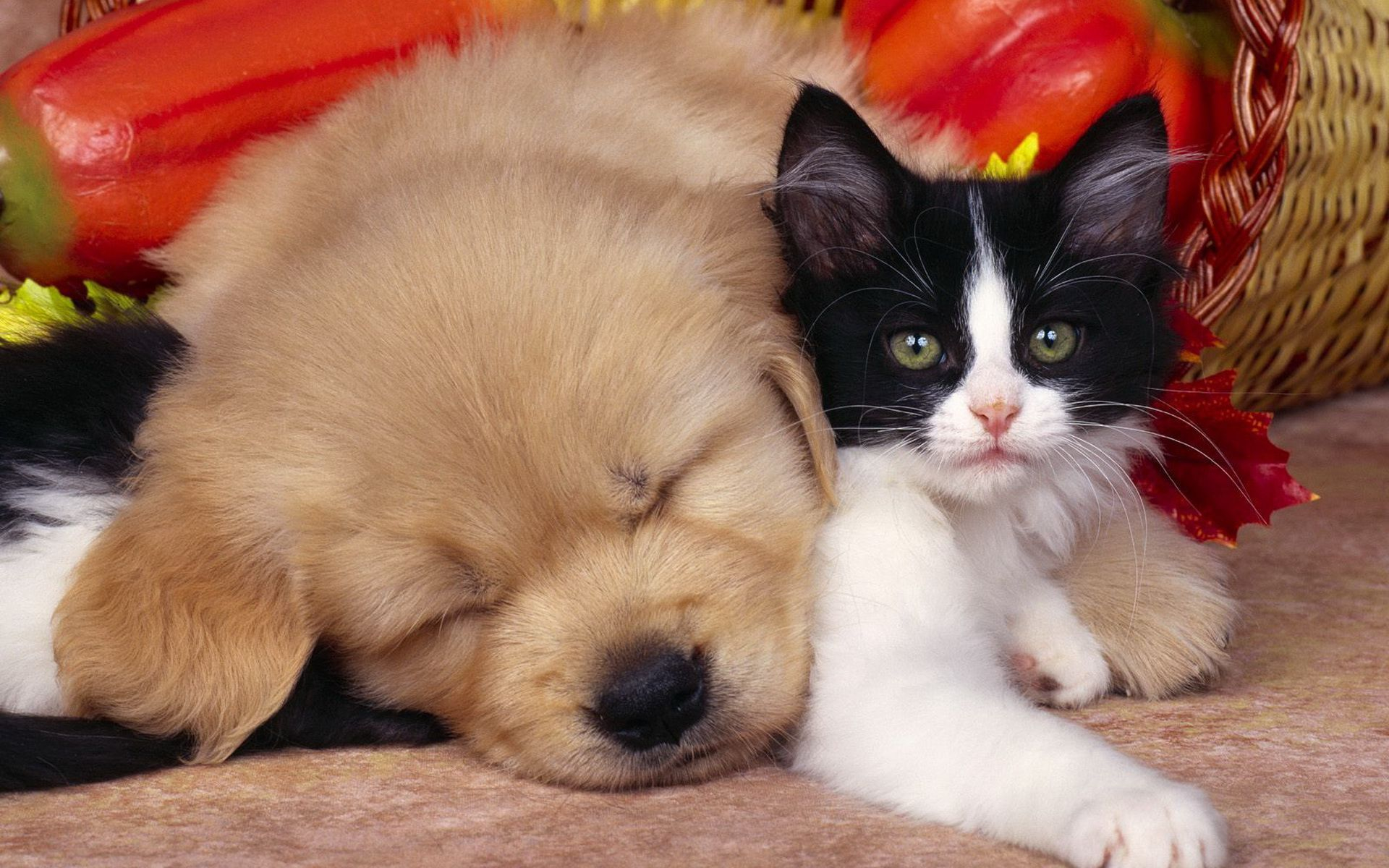 Dog And Cat Full Hd Wallpaper And Background Image