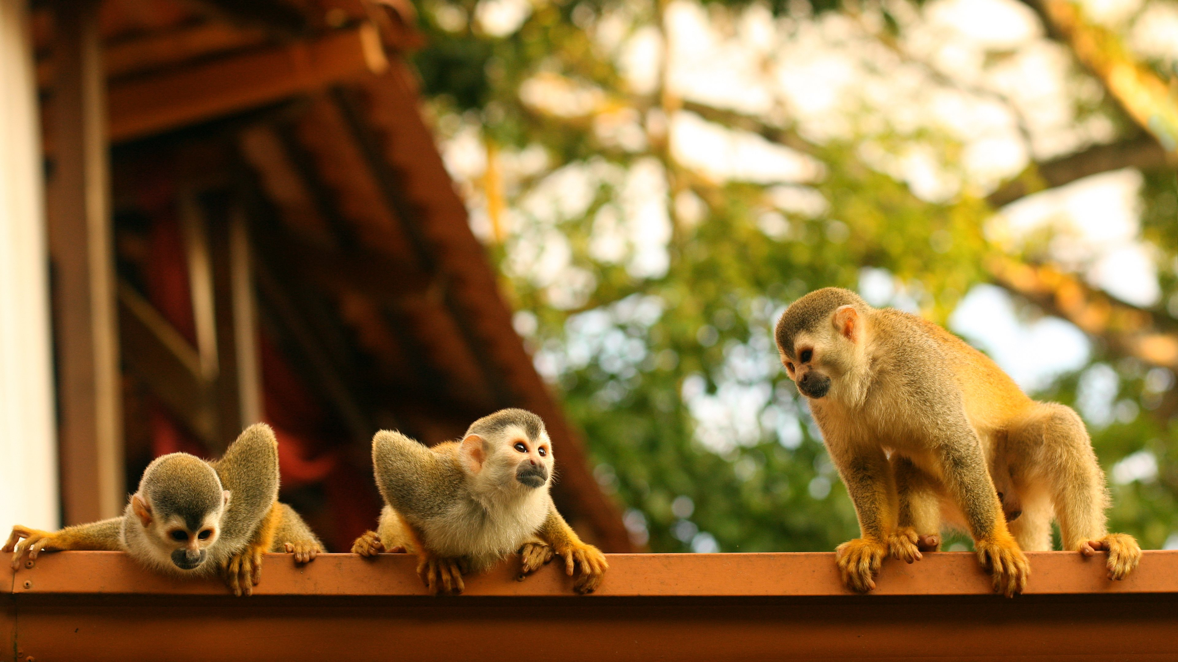 Cute Monkey Wallpapers For Mobile 1 Spider Monkey Hd Wallpapers Backgrounds Wallpaper Abyss
