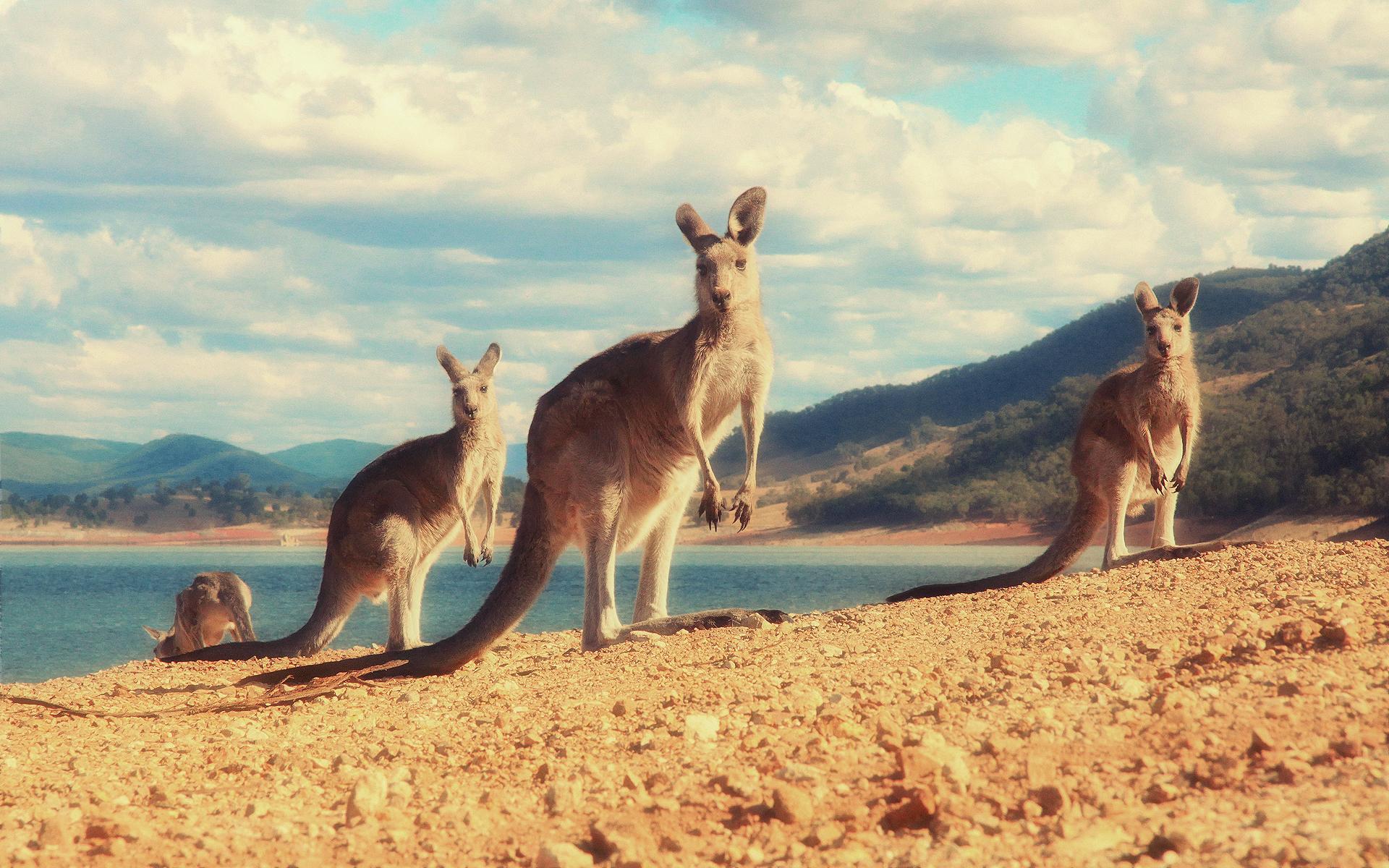 Australian Flag Hd Wallpaper Kangaroo Hd Wallpaper Background Image 1920x1200 Id