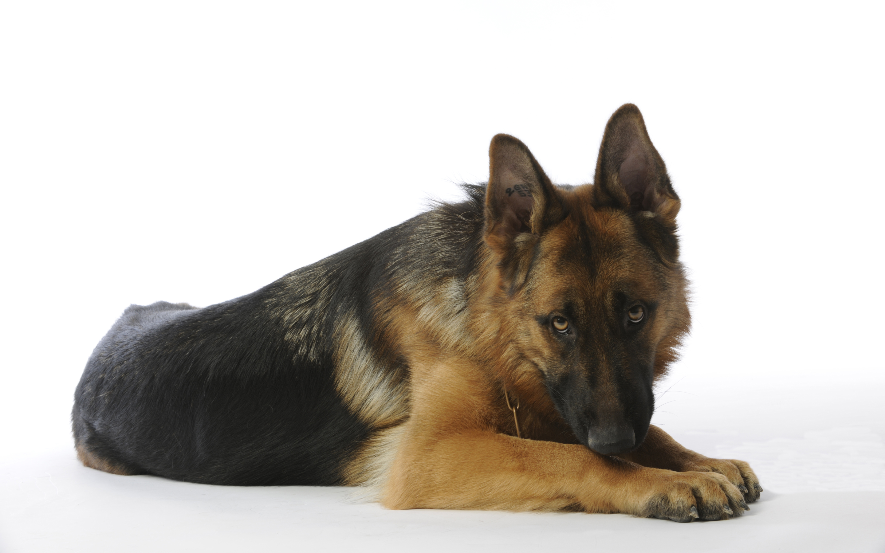 How To Use A Gif As A Wallpaper Iphone German Shepherd Hd Wallpaper Background Image