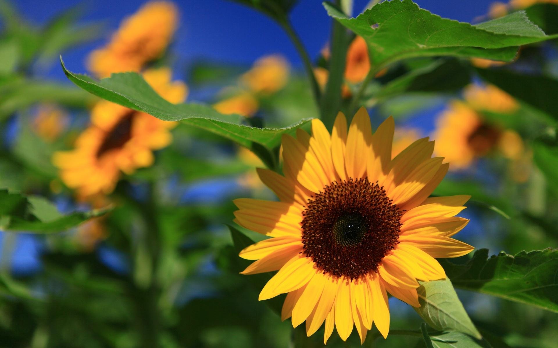 ErdeNatur Sonnenblume Wallpaper