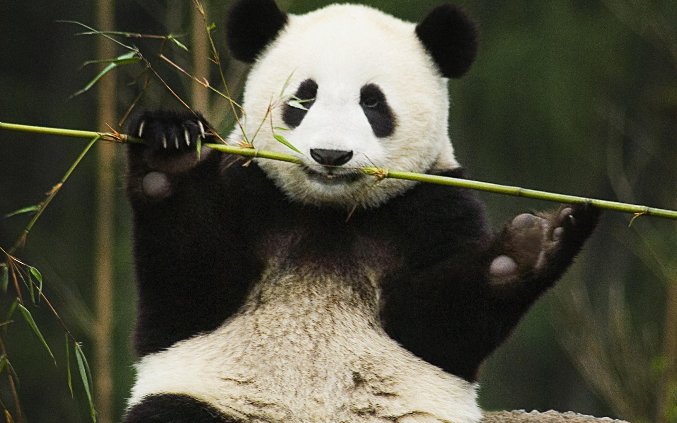 Iphone 5 Cute Panda Wallpaper Panda Hd Wallpaper Background Image 2560x1600 Id