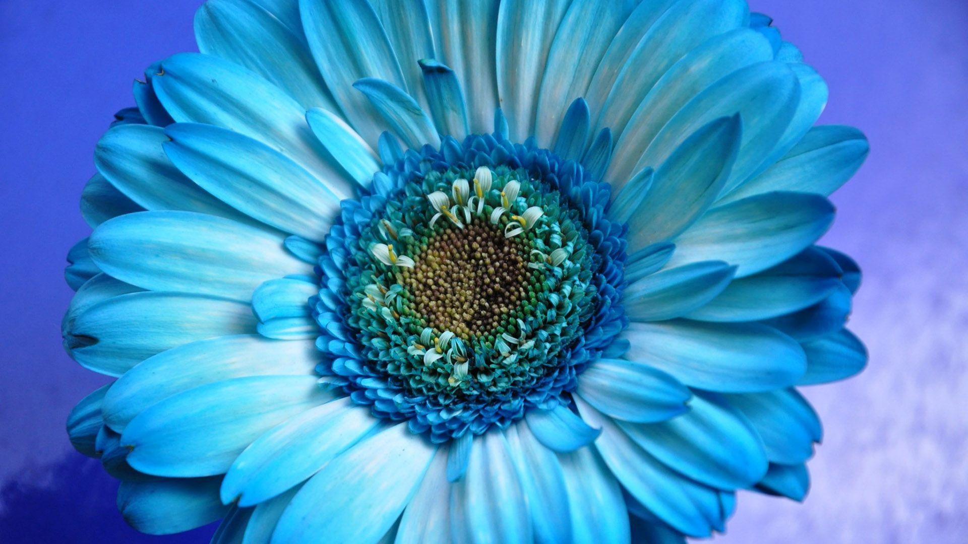 Om Wallpaper For Iphone 5 Blue Gerbera Hd Wallpaper Achtergrond 1920x1080 Id