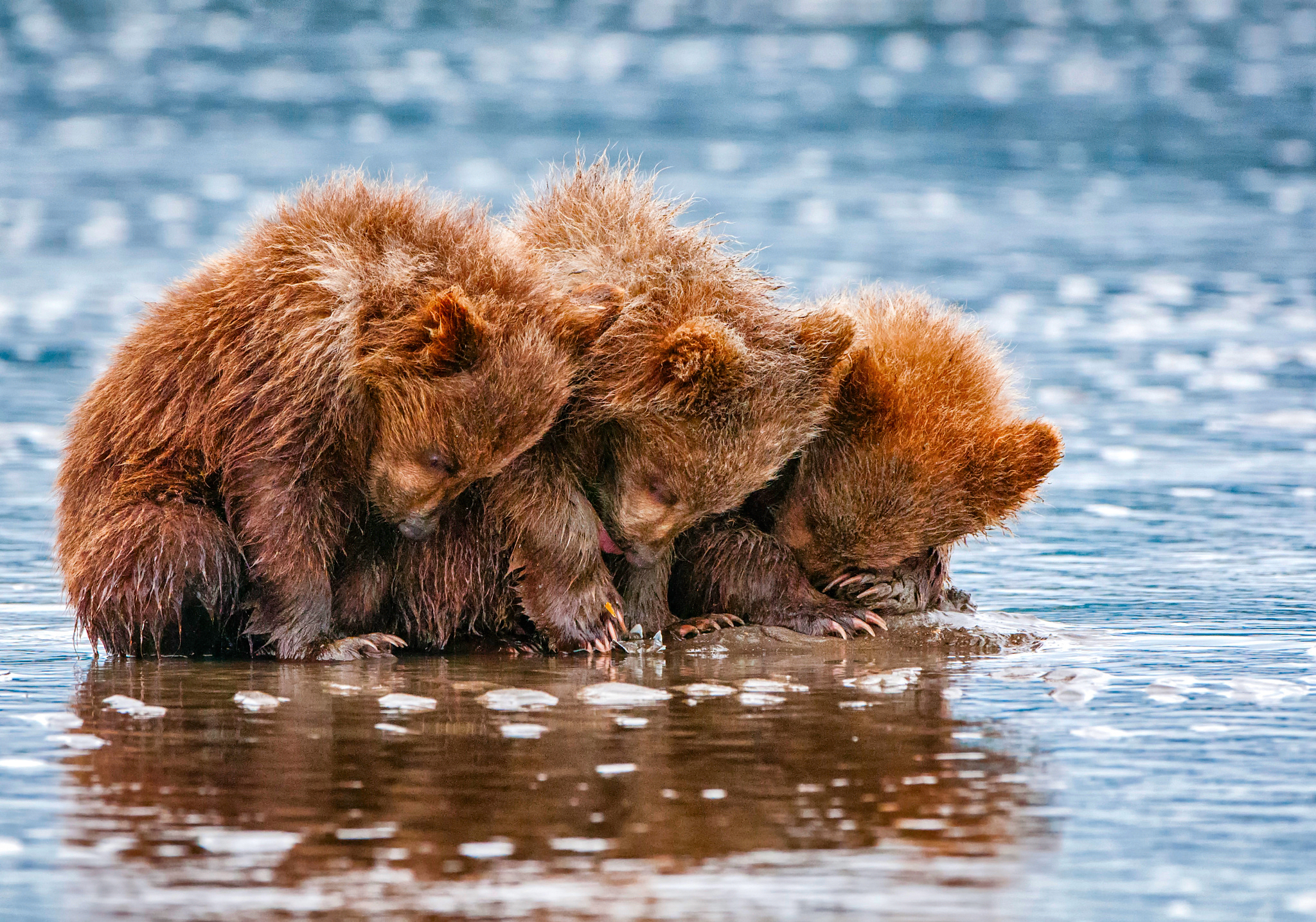 Brown Bear Cubs Hd Wallpaper