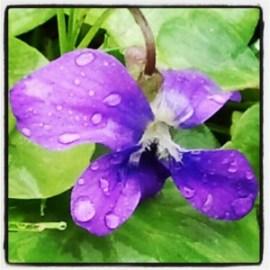 purple, flower, raindrops