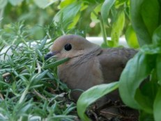 Dove in herbs