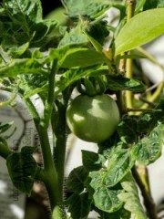 tomato, green