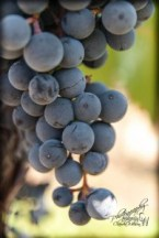 grapes, close up