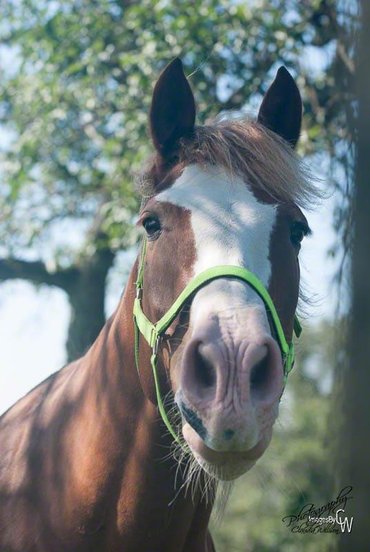 Horse Photography Freiberger