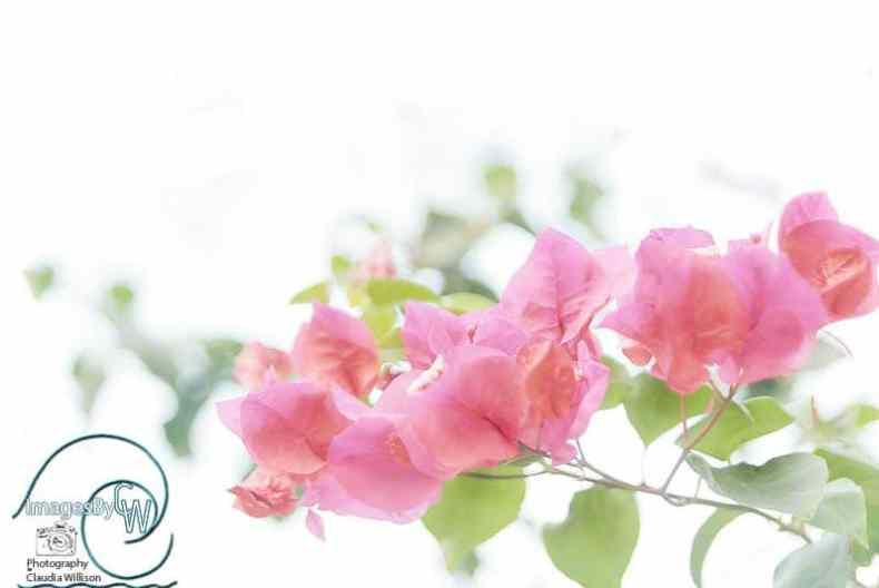 pink, bougainvillea, highkey
