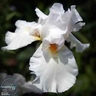 white, iris, lily
