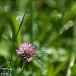 Purple Clover, grass & bokeh