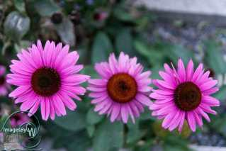 purple, daisy