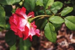 Rose6396-EditW