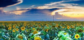 128 Sunflower Sunset_DSC8731-Pano