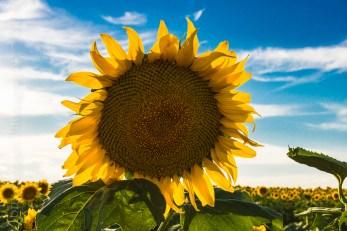 Sunflower Master-8678