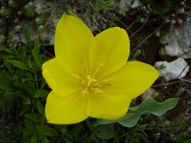 Урумово лале / Tulipa urumoffii photo credit : Нели Иванова - Сдружение за дива природа БАЛКАНИ