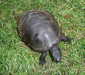 Европейска блатна костенурка / Emys orbicularis Photo credit George Chernilevsky