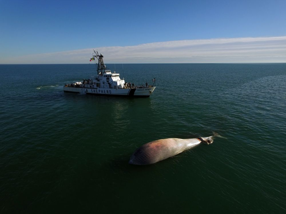 The Farley Mowat crew investigates a dead whale, looking for signs of entanglement. Copyright: Greg Joder/Sea Shepherd.