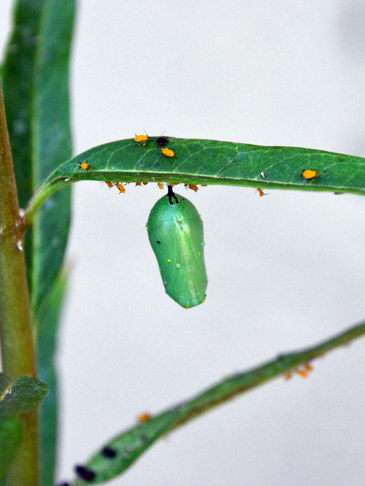 Queen butterfly chrysalis. Copyright: Greg Joder.