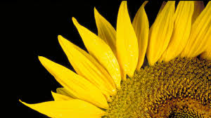 This image has an empty alt attribute; its file name is bloom_sunflowerhead.jpg