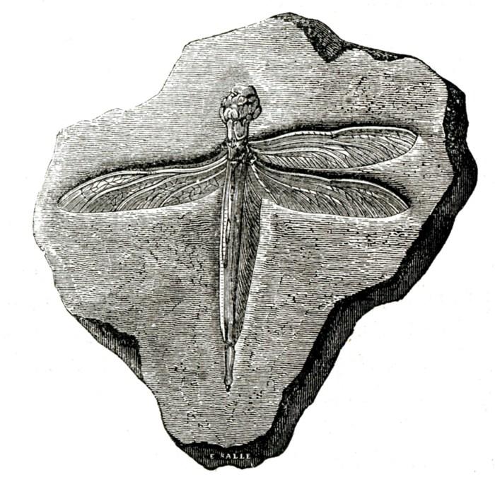 Fossile de libellule, gravure, L. Figuier, La Terre avant le déluge, 1864.