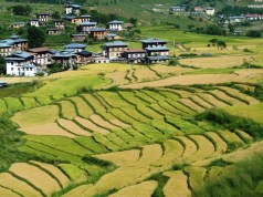 Paddy fields in Punakha valley