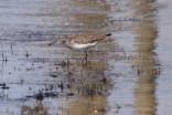 Solitary sandpiper, Des Plaines River Trail, Gurnee