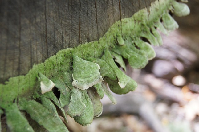 It almost looks like green fungus growing on tree fungus!