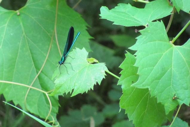 The damsel fly was the focus - the tinier fly was a bonus!