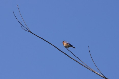 Eastern Bluebird-He sat nicely and let me get a good shot!
