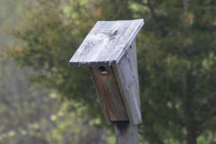 Tree Swallow-Peek-a-boo!