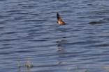 Chimney swallow, Cuba Marsh, Barrington