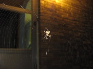 I couldn't get many good ones of the spider itself, but this one wasn't too bad.
