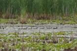 Wood ducks, Des Plaines River Trail, Wadsworth