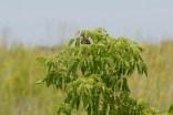 Song sparrow, Raven Glen, Antioch