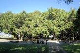 15-Banyan_Tree-
