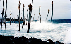1975-Halape palm grove, dead from immersion in sea water.