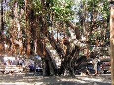 Banyan_Tree-trunk