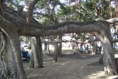 Banyan_Tree-walkway