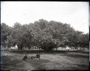 Banyan_Tree,_Courtyard,_Lahaina,_Maui,_photograph_by_Brother_Bertram