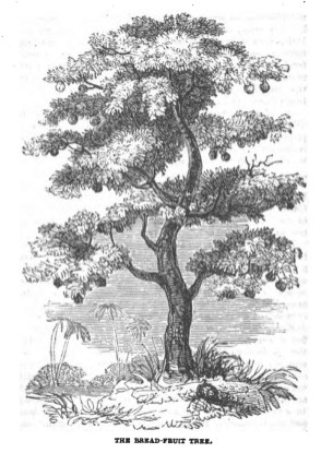 Breadfruit-(BookOfTrees)-1837