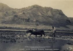 Chinese water buffalo plowing rice field Hawaii Tai Sing Loo-(KSBE)=